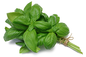 master herb Holy Basil for regulating blood sugar and diabetes