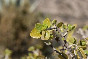 ashwagandha plant growing outdoors