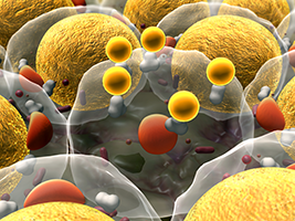 graphic of fat cells and its membranes