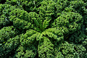 close up of kale leaves