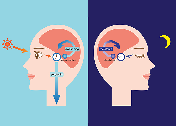 illustrated diagram of how melatonin affects the brain