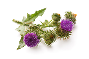 milk thistle plant on a white surface