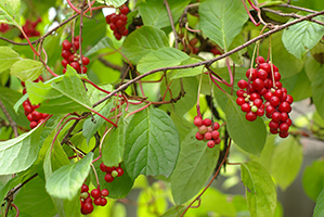 schisandra plant outdoors