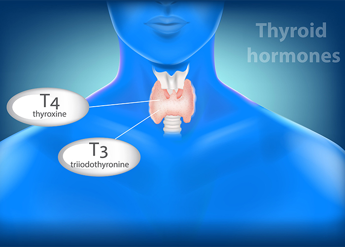 illustrated image of thyroid hormones